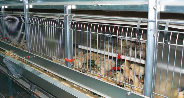 Chick Breeding Systems